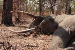 elephant-hunting-ekuja-hunting-safaris-12