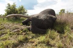 elephant-hunting-ekuja-hunting-safaris-13